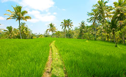 The tropical nature. Indonesia. Bali Royalty Free Stock Images