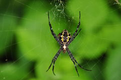 Tropical nicely colored with a spider on the network. Indonesia. Java Stock Photo