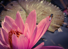 Tropical night-blooming Waterlily and dragonfly. Dragonfly taking time to perch on beautiful night-blooming Waterlily in the hour before it closes for the day Royalty Free Stock Image