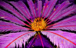 Tropical nightmare palm. The strange pinnate palm with leaves radiating from the center Royalty Free Stock Photos