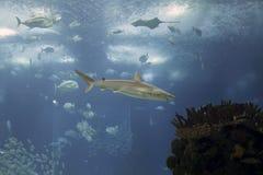 Elegant ocean shark. Tropical ocean shark. Aquarium photo. High ISO Royalty Free Stock Photo