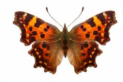 Tropical orange butterfly with beautiful spots on the wings. isolated on white background stock illustration