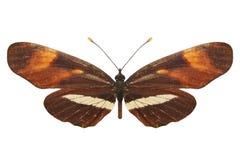 Tropical orange butterfly. breed Melitaea. isolated on white background. Orange butterfly. breed Melitaea. isolated on white background stock photo