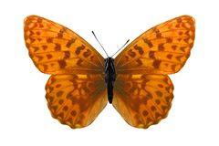 Tropical orange butterfly. isolated on white background. Orange butterfly. isolated on white background stock photography