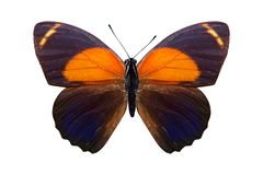 Tropical orange butterfly. isolated on white background. Orange butterfly. isolated on white background stock image