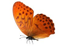Tropical orange butterfly. isolated on white background. Orange butterfly. isolated on white background royalty free stock photo