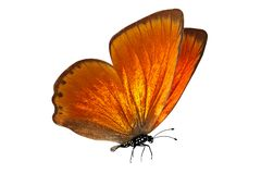 Tropical orange butterfly. isolated on white background. Orange butterfly. isolated on white background stock images