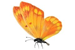 Tropical orange butterfly. isolated on white background. Orange butterfly. isolated on white background royalty free stock photography