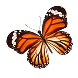 Tropical orange butterfly. isolated on white background. Orange butterfly. isolated on white background royalty free stock images