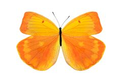 Tropical orange butterfly. isolated on white background. Orange butterfly. isolated on white background royalty free stock image
