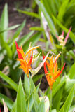 Tropical Orange Lilly Royalty Free Stock Photography