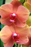 Tropical orange orchids Stock Images