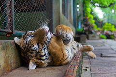 Tropical Orange Striped Tiger Paw in Mouth in Tiger Temple Thailand North Chang Mai royalty free stock photos