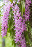 Tropical orchid flower (Aerides multiflora Roxb) bloom Royalty Free Stock Image