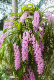 Tropical orchid flower (Aerides multiflora Roxb) bloom Stock Photo