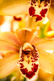 Tropical Orchid Flower Blossoms Royalty Free Stock Images