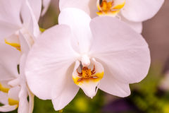 Tropical Orchid Flower Blossoms Stock Photo