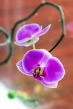 Tropical Orchid Phalaenopsis against window glass close up Stock Image