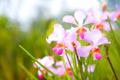 Tropical orchid in red, pink and magenta Royalty Free Stock Images