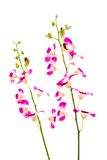 Tropical orchids against white Royalty Free Stock Photography