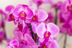 Tropical orchids of lilac color Royalty Free Stock Images