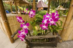 Tropical orchids in Thailand Royalty Free Stock Photography