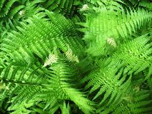Tropical Oriental Ferns Royalty Free Stock Photography