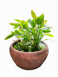 Tropical ornamental aquatic plant Stock Photography