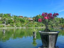 Tropical ornamental garden with large swimming pool. Young plant pink frangipani. Cascade terraces with vegetation. Reflectio stock images