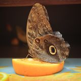 Tropical Owl Butterfly on the orange slice. Toned royalty free stock images