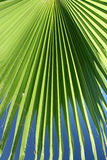 Tropical Palm. Shade of green palm tree with blue sky Stock Images