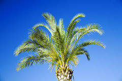 Tropical palm Royalty Free Stock Photo