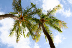 Tropical palm. Trees in the blue sky stock photo