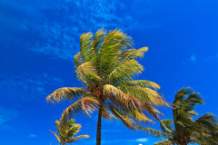 Tropical palm on blue sky Royalty Free Stock Photo