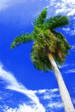 Tropical palm on blue sky. Tropical palm tree against blue sky with white clouds Stock Image