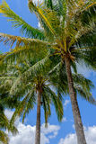 Tropical Palm and coconut trees against beautiful blue sky in th Stock Image