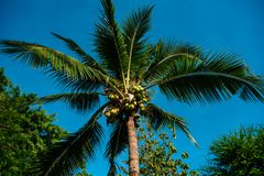 Tropical palm with coconuts growing. From below shot of green exotic palm with raw coconut t on blue sky background stock photo