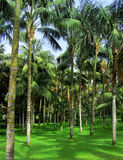 Tropical palm forest Royalty Free Stock Photography