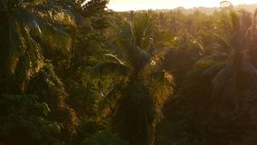 Palm forest and jungle in rays of bright sunset sun. sunlight floods rainforest. stock video