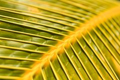 Tropical Palm Frond Closeup. Tropical palm tree, close-up green foliage Stock Photography