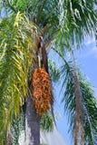 Tropical Palm fruit Stock Photos