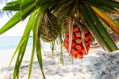 Tropical palm fruits Koh Kood. Summer landscape on tropical koh Kood island  in Thailand. Colorful palm fruits taken on Ao Tapao beach Royalty Free Stock Photos