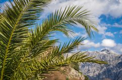 Tropical palm in Kotor Bay. Tropical palm growing in Kotor Bay, summer, Montenegro royalty free stock images