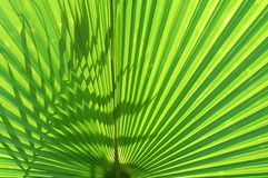 Tropical palm leaf royalty free stock photo