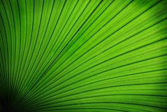 Tropical palm leaf Royalty Free Stock Photos