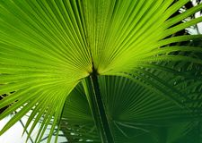 Tropical Palm leaf in the garden, Green leaves of tropical forest plant for nature pattern and background.  stock photography