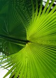 Tropical Palm leaf in the garden, Green leaves of tropical forest plant for nature pattern and background.  stock photos