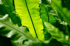 Tropical palm leaf. Tropical palm plant, green thick leaves Stock Photography