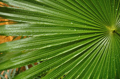 Tropical Palm Leaf with Raindrops. C Lose up of Tropical Palmate Palm Leaf with Drops of Rain Stock Image