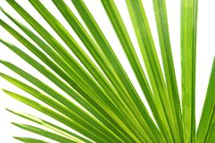 Tropical palm leave Royalty Free Stock Images